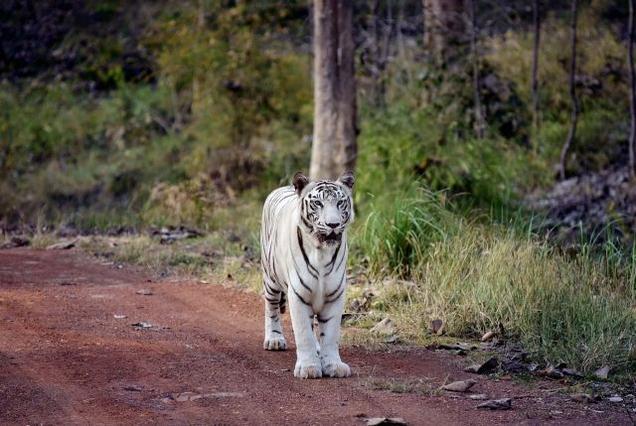 Madhya Pradesh white tiger safari