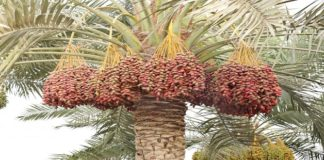 date palm in rajasthan-Production of 800 tons Date Palm- rajasthan