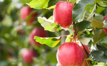 Adani Agri Fresh Limited Farm-Pik Apples