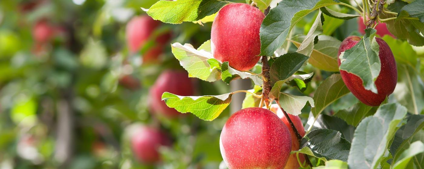 Adani Agri Fresh Limited Farm-Pik Apples
