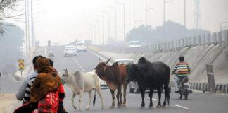 Stray Cattle, Jaipur